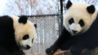Calgary Zoo - Animals - Panda Conservation