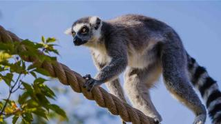 Calgary Zoo - Animals - Lemurs