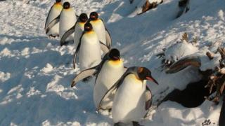 Calgary Zoo's Penguin Walk Returns January 17th, 2018