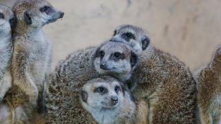 Calgary Zoo Birthday Party and Private Event Bookings - Image of Meerkats