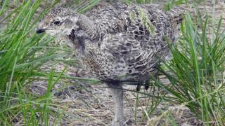 First Greater Sage-Grouse Reproduce in Human Care in Canada