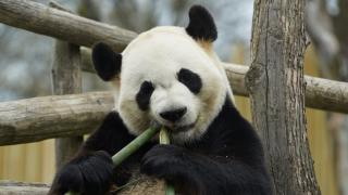 The Zoo Panda Conservation