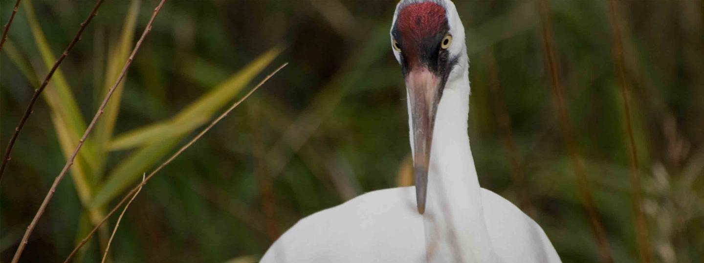 Calgary Zoo - Animals - Whooping Cranes