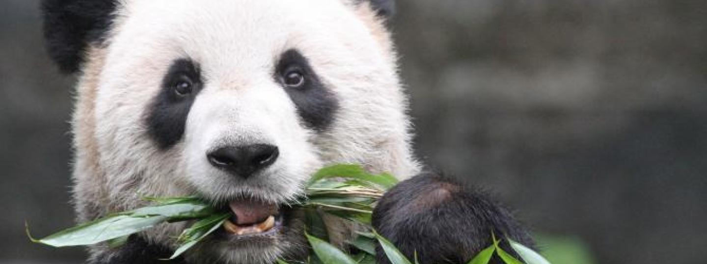 World-class Expertise Gathered to Care for Giant Pandas