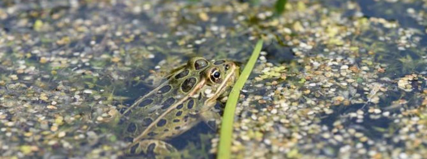 Calgary Zoo Leaps Ahead to Protect Endangered B.C. Northern Leopard Frog