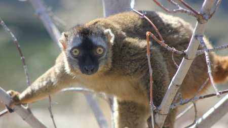 Red-Fronted Lemur - Heather Tran