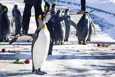 king penguin with rose