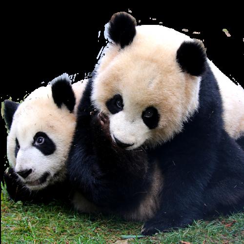 Adult Webcam Sites Panda Cam